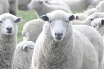 Family Travel sheep Rotorua New Zealand