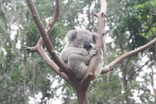 Family Travel Koala Australia